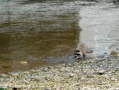 We saw this young racoon fishing at a low tide along the Inner Harbour, Victoria BC.