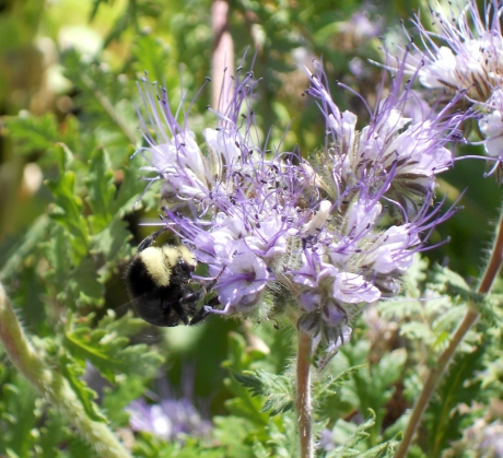 Phacelia and bee.