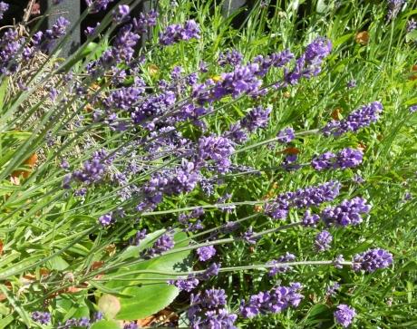 Fragrant lavender.