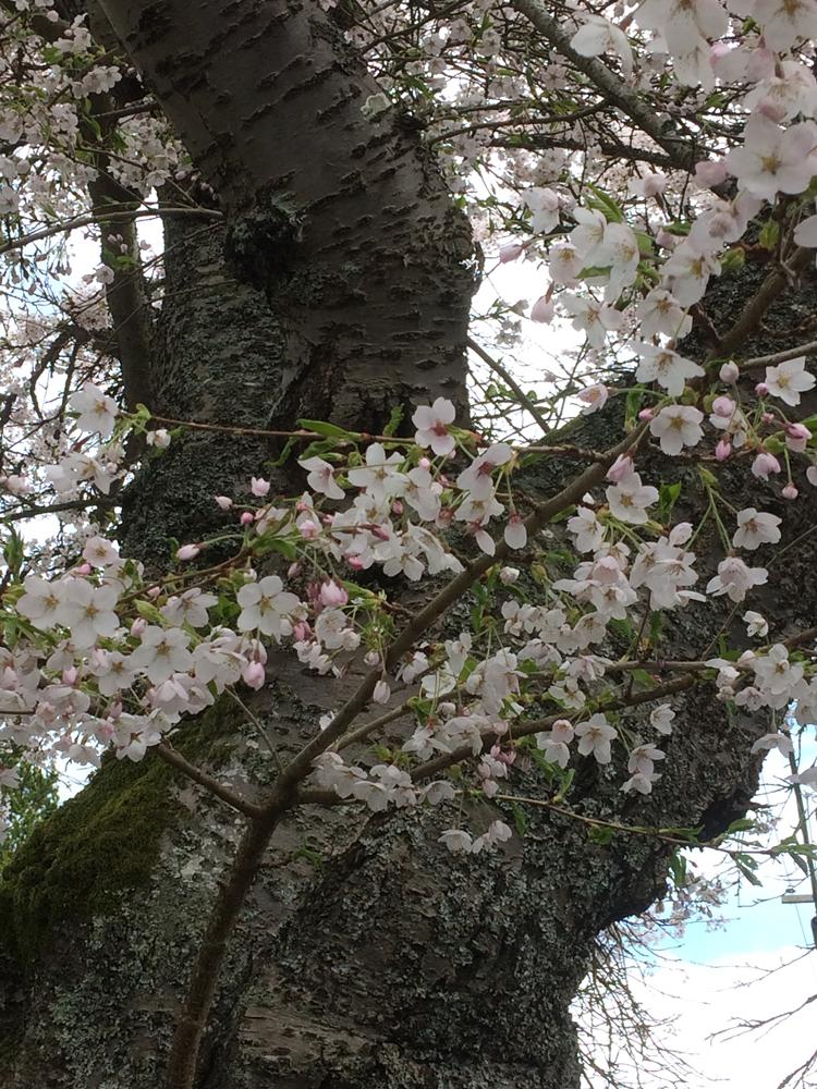 Cherries2019_2