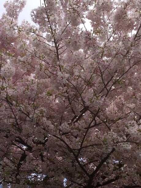 Cherries2019_3