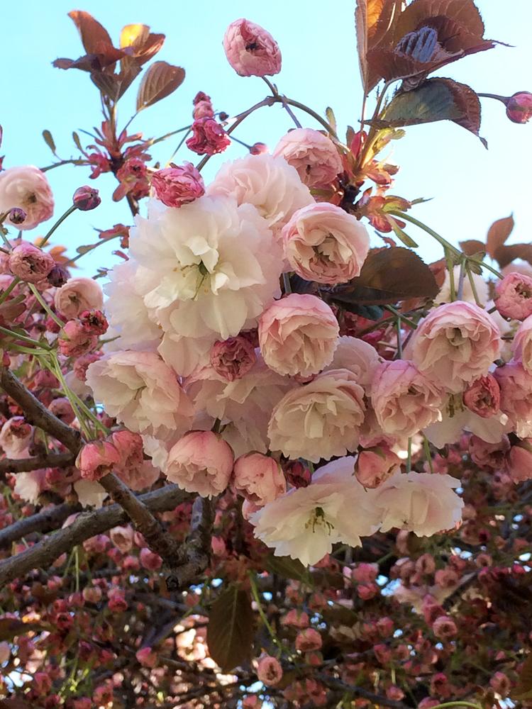 Cherries2019_5