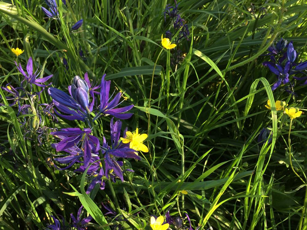 SpringPurple5_Camas